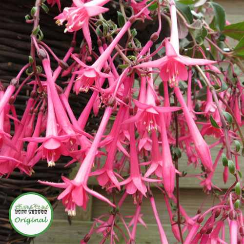 Fuchsia Trailing Eruption Plug Plant