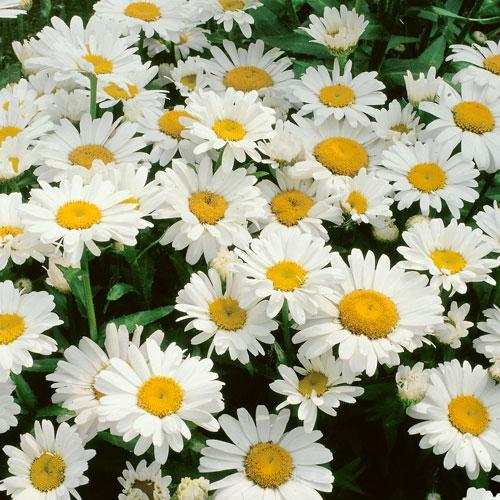 Leucanthemum Snow Lady Plug Plant