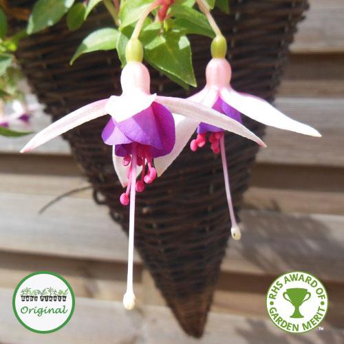 Fuchsia Trailing La Campanella Plug Plant