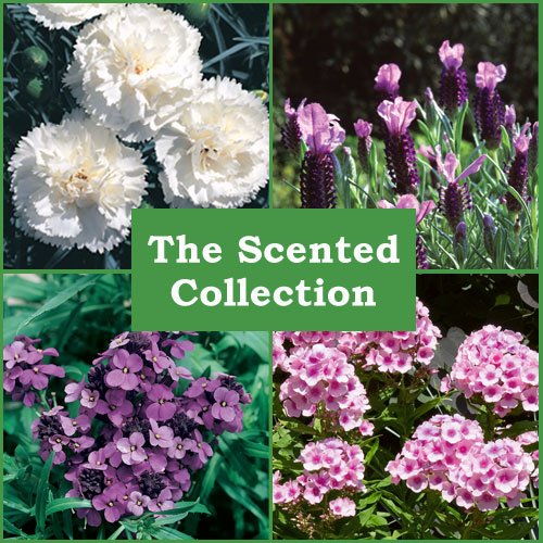 The Scented Perennial Collection (6 Plug Plants)