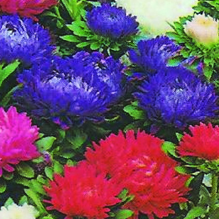 Aster Milady? Mixed Mini-plug Bedding Plants