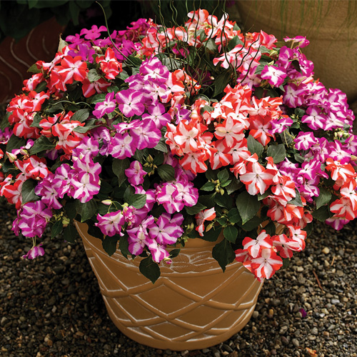 Impatiens Accent? F1 Star Mix Mini-plug Bedding Plants