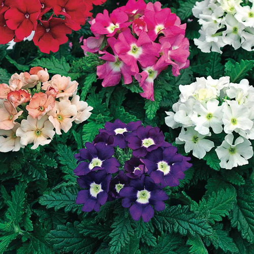 Verbena Tuscany? Mix Mini-plug Bedding Plants