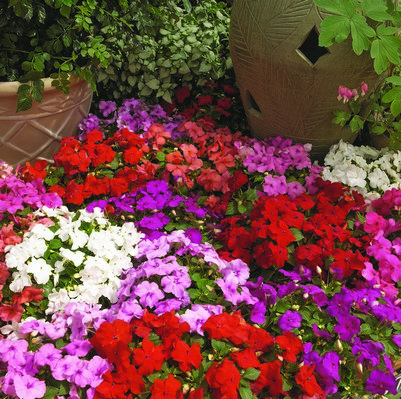 Impatiens Xtreme? F1 Mixed Mini-plug Bedding Plants