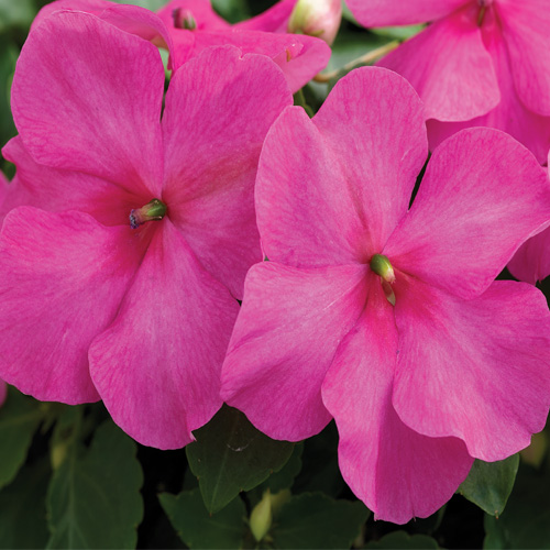 Impatiens Xtreme? F1 Pink Mini-plug Bedding Plants
