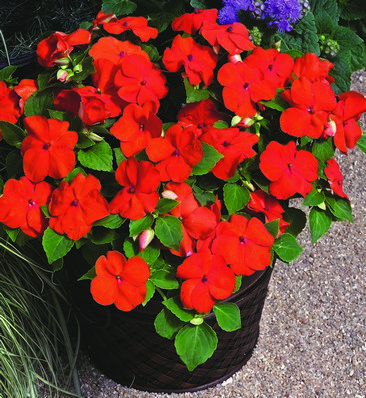 Impatiens Xtreme? F1 Orange Mini-plug Bedding Plants
