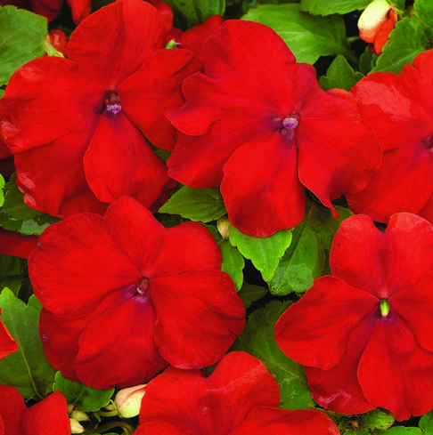 Impatiens Xtreme? F1 Red Mini Plug Bedding Plants