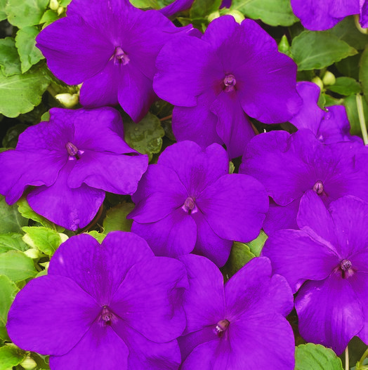 Impatiens Xtreme? F1 Violet Mini-plug Bedding Plants