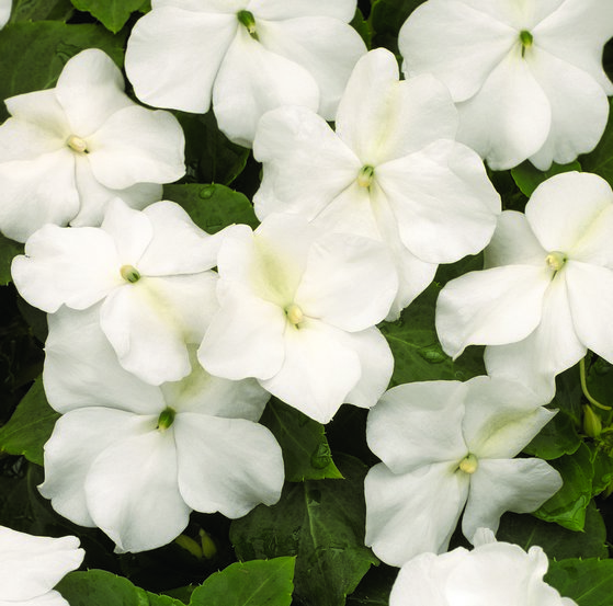 Impatiens Xtreme? F1 White Mini-plug Bedding Plants