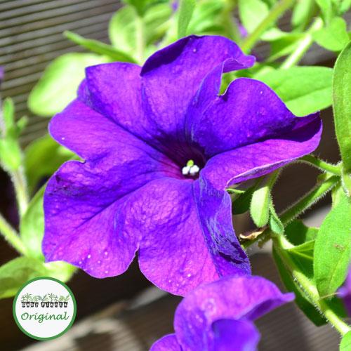 Surfinia? Blue Plug Plant