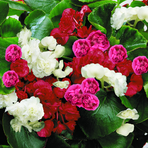 Begonia Semperflorens Queen F1 Mixed Mini-plug Bedding Plants
