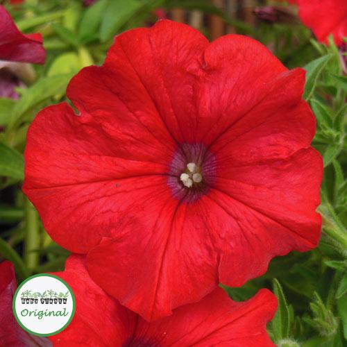 Surfinia? Scarlet Red Plug Plant