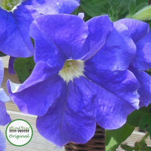 Surfinia? Sky Blue Plug Plant