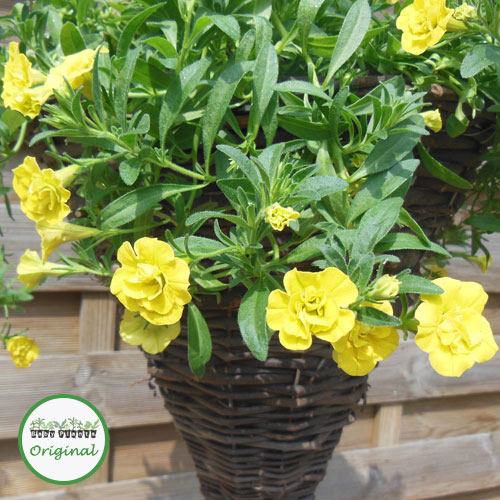 Calibrachoa Calita? Double Yellow Plug Plant
