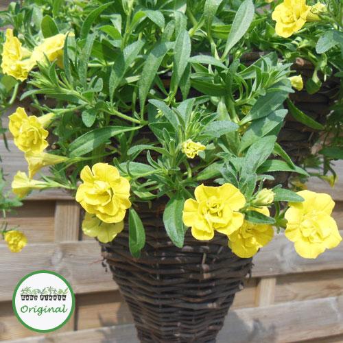 Calibrachoa Calita? Double Yellow Plug Plant