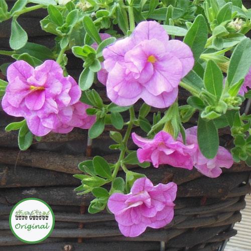 Calibrachoa Calita? Double Rose Plug Plant