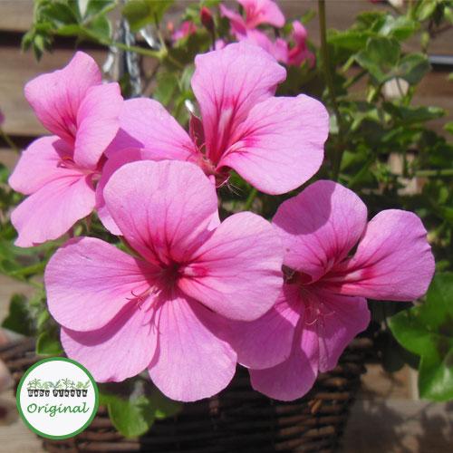 Geranium Trailing Gerainbow? Pink Plug Plant
