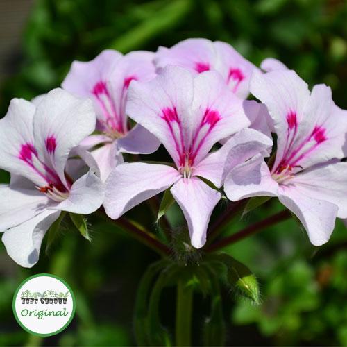 Geranium Trailing Gerainbow? White Plug Plant