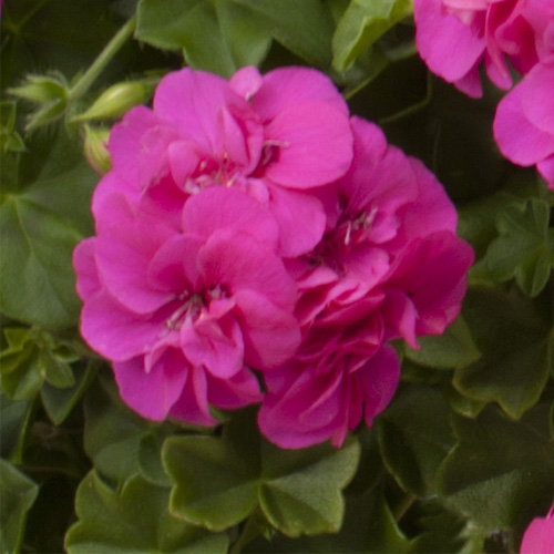 Geranium Trailing Double Amy Plug Plant