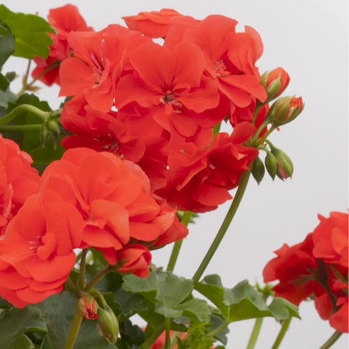 Geranium Trailing Double Polly Plug Plant
