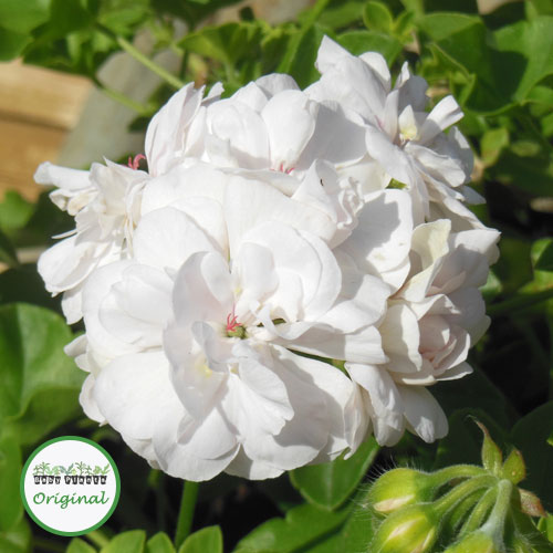 Geranium Trailing Double Sybil White Pearl Plug Plant