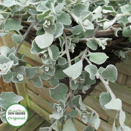 Helichrysum Silver Plug Plant
