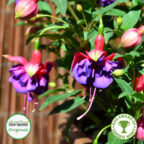 Fuchsia Upright Winston Churchill Plug Plant