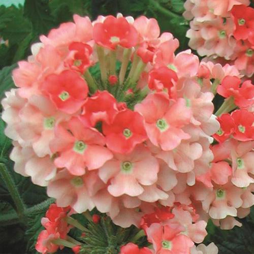 Verbena Trailing Samira? Peach Plug Plant