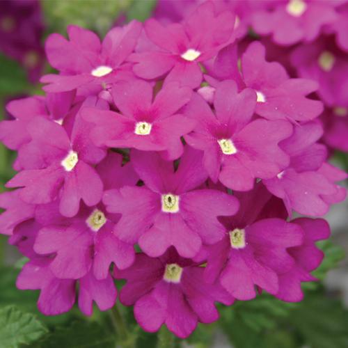 Verbena Trailing Samira? Purple Plug Plant