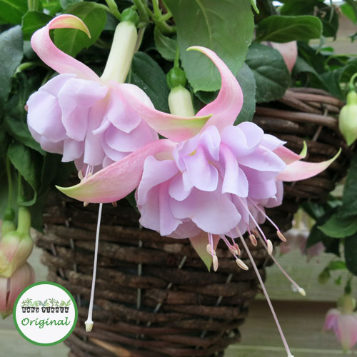 Fuchsia Trailing Giant Hollys Beauty Plug Plant
