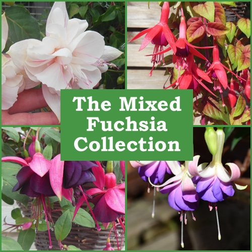 The Mixed Fuchsia Collection (36 Plug Plants)