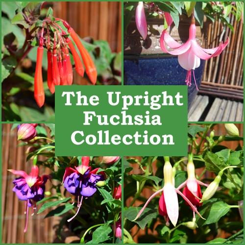 The Upright Fuchsia Collection (6 Plug Plants)