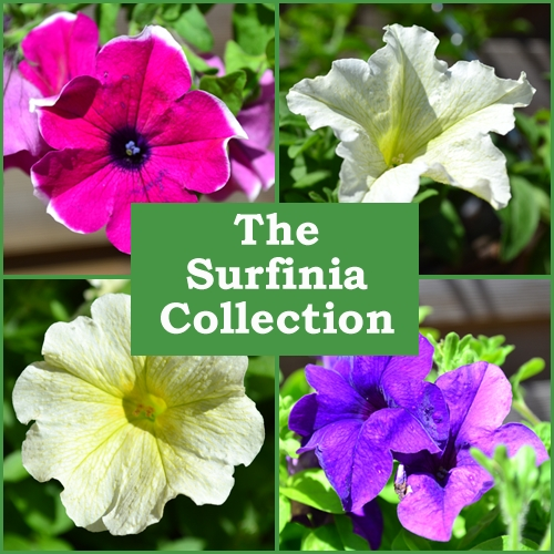 The Surfinia? Collection (6 Plug Plants)