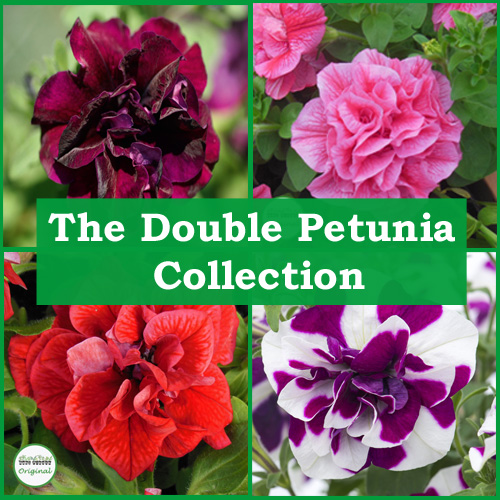 The Double Petunia Collection (6 Plug Plants)