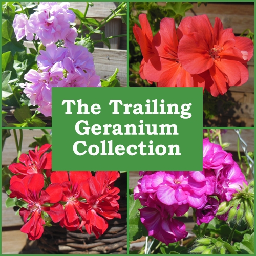 The Trailing Geranium Collection (6 Plug Plants)