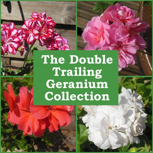 The Double Trailing Geranium Collection (6 Plug Plants)