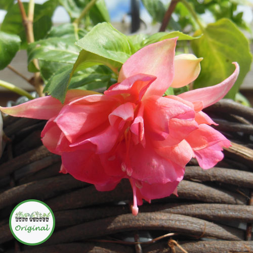 Fuchsia Trailing Giant Peachy Plug Plant
