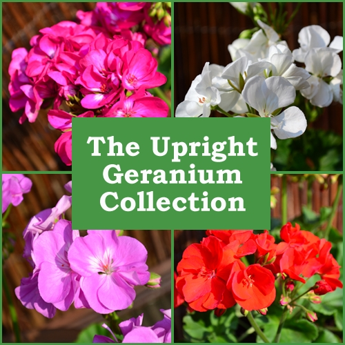 The Upright Geranium Collection (6 Plug Plants)