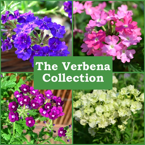 The Trailing Verbena Collection (6 Plug Plants)