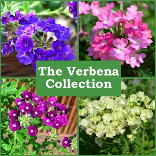 The Trailing Verbena Collection (6 Plug Plants)