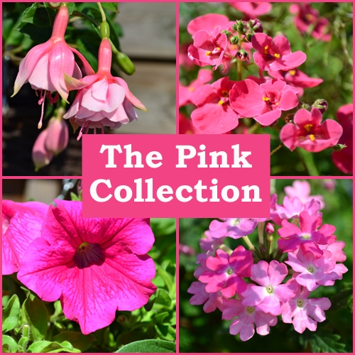The Pink Collection (6 Plug Plants)