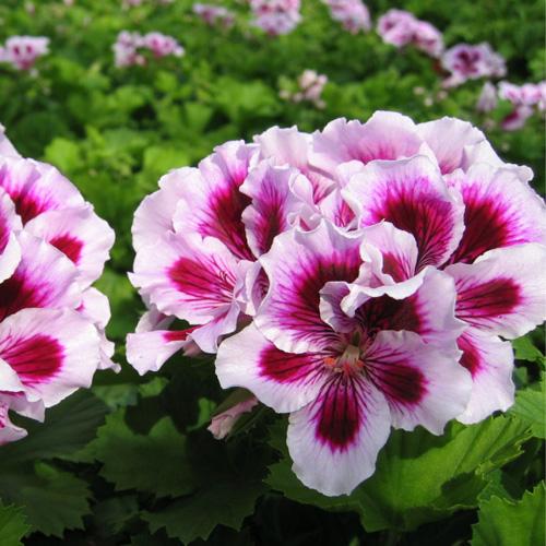 Geranium Upright Regalia? Lilac Plug Plant