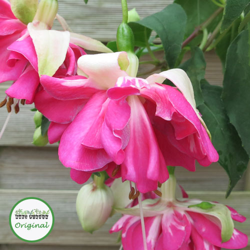 Fuchsia Trailing Giant Marbeller? Flying Scotsman Plug Plant
