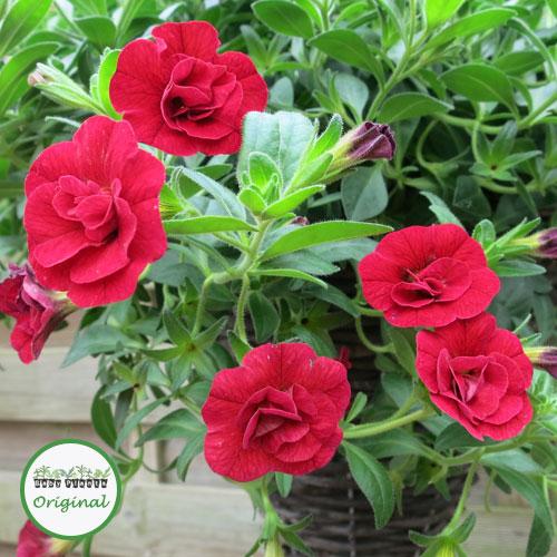 Calibrachoa Calita? Double Cherry Plug Plant