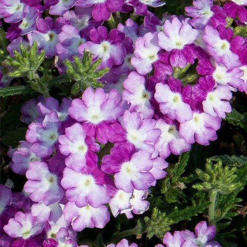 Verbena Trailing Samira? Purple Wing Plug Plant