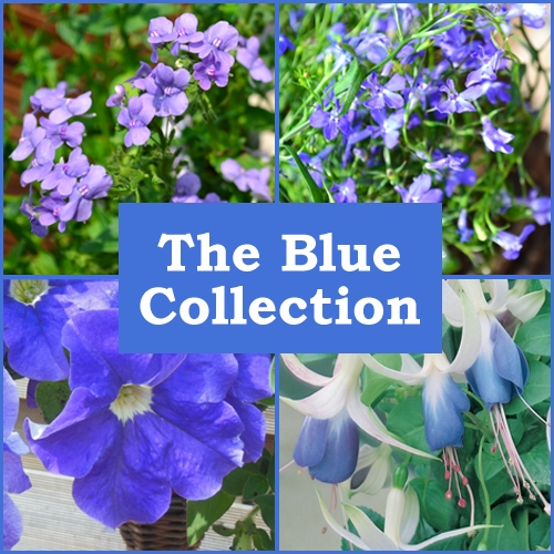 The Blue Collection (6 Plug Plants)