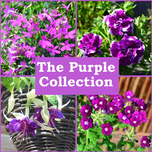 The Purple Collection (6 Plug Plants)