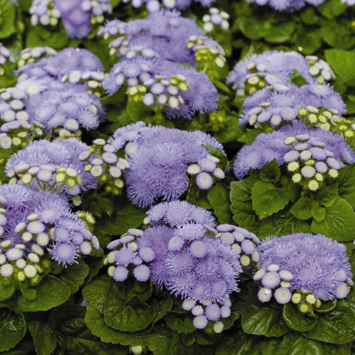 Ageratum Hawaii 5.0 F1 Mini-plug Bedding Plants