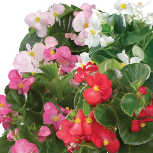 Begonia Semperflorens Emperor F1 Mixed Mini-plug Bedding Plants