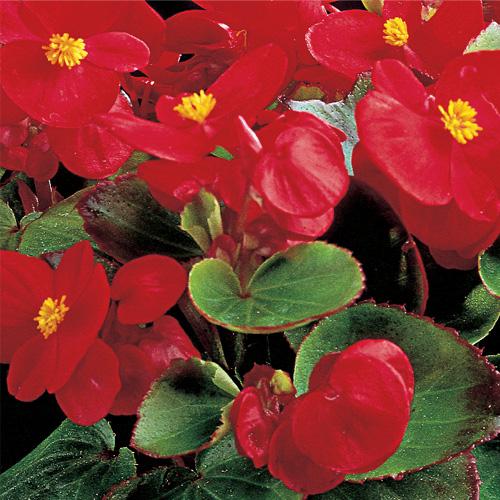Begonia Semperflorens Ambassador F1 Scarlet Mini-plug Bedding Plants